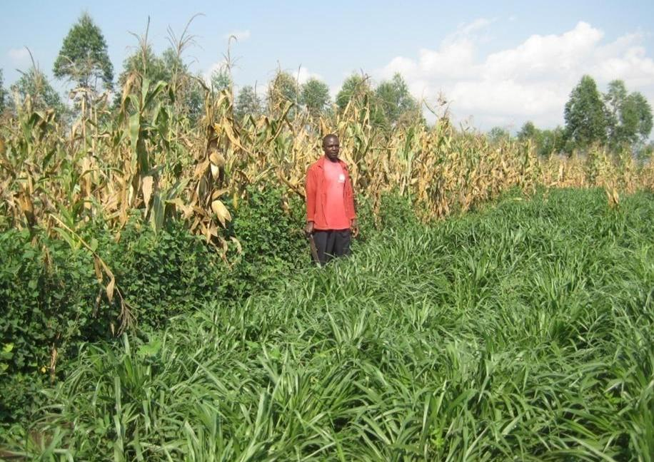 A farmer standing in his adapted Push-pull plot