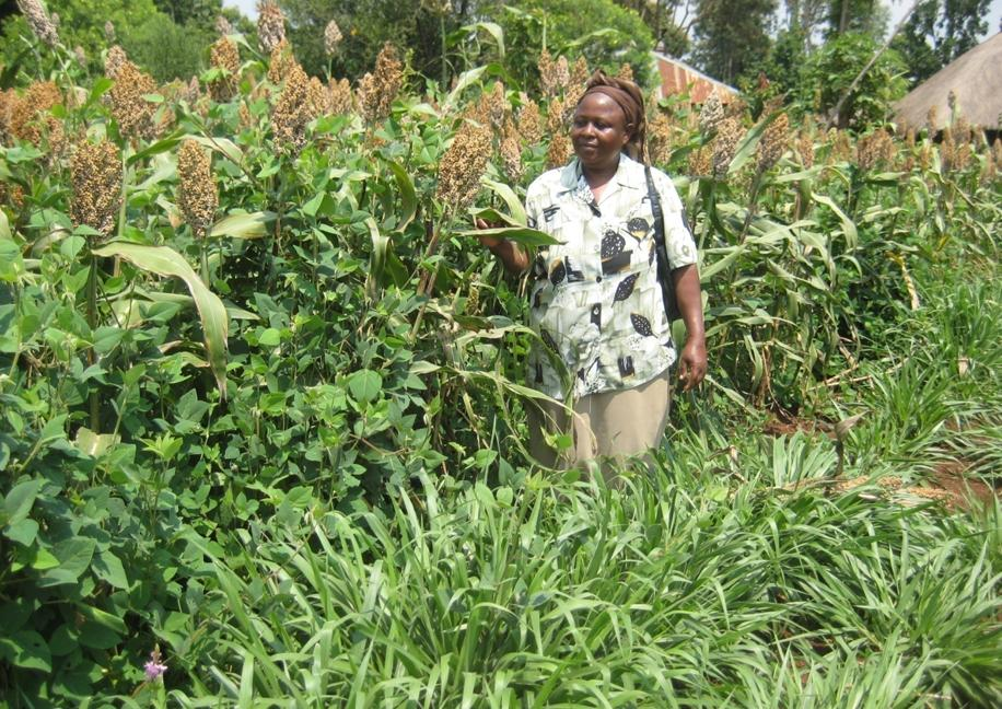 Improved sorghum yield in Push-pull field